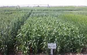 July_2011-Irrigation_Variety_Trials_at_CSIDC